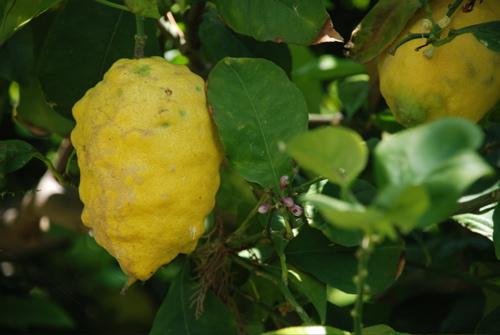 """""""Små citroner gula"""" – Amalfikustens trädgårdar och ön Ischia"""